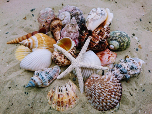 """Beach Mixed SeaShells (50-60 Shells) Shell Mix with starfish and sea urchin. These shells range from 1""""-3"""" shells will be similar to the ones pictured not exactly species of shells vary. Free Shipping"""