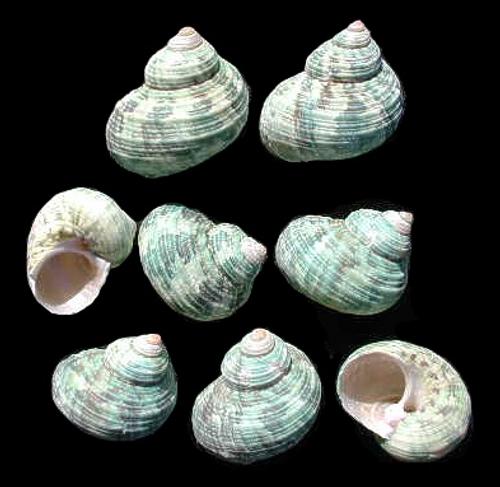 "Light Green Turbos Seashells 1""-1 1/2"" Priced Each"