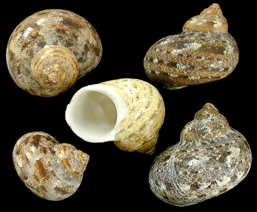 Turbo Petholatis Shells Great for hermit crabs, Priced Each