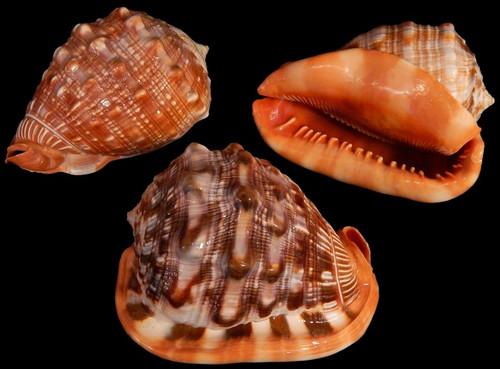 "Cameo Seashell (Cassis Rufa) 5-6"" Free shipping"