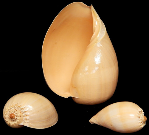 "Melon Diadema Shell 7-8"" Free Shipping"