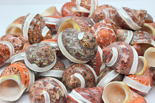 """10 Piece Large Hermit Crab Shells 1 inch opening Approx 2"""""""