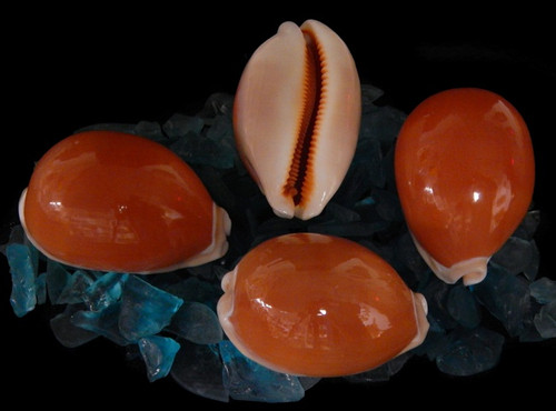 The Cyprea shell, Aurantium belongs to the Cowry shell family. It is a true collector shell found in the Indo-Pacific region. It likes to creep along the ocean bottom on the outer side of reefs. They grow to an average size of 3 inches. This is a highly coveted shell for collectors.