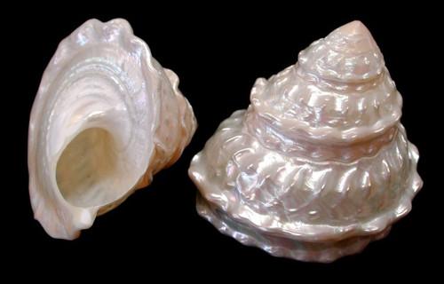 "Polished Astraea Undosa Shell 3""-4"" Priced each"