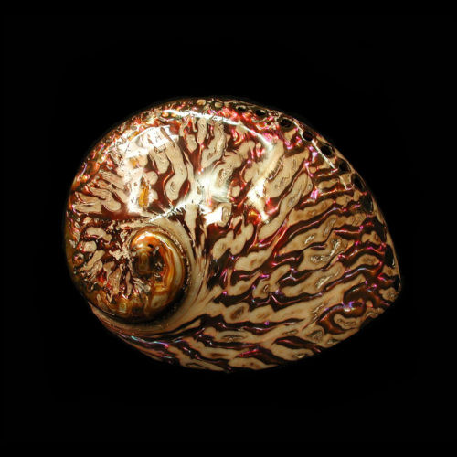 "Polished Copper Midas Abalone Seashell (5-6"") Haliotis Midae"