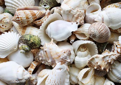 Drilled Shell Mix (10 pcs) Medium size shells