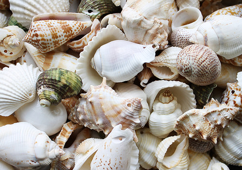 Drilled Shell Mix (10 pcs) Medium size shells