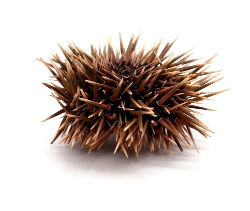 Sea Urchin w/Spines (2 pcs) Echinometra Mathaei