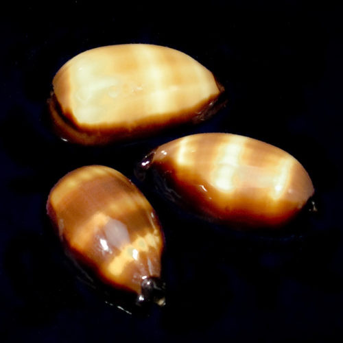 Found in the Indo-Pacific near coral reefs. The Mole or Chocolate Banded Cowrie has a cream colored base with darker striping running horizontal across the shell.