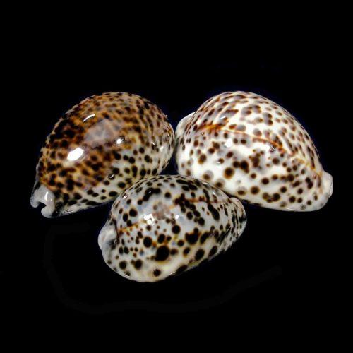 Tiger Cowrie Seashell (2pcs) Cypraea Tigris Free Shipping