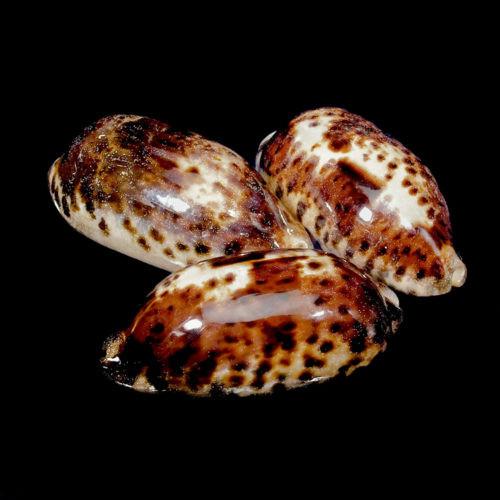 "Tortoise Cowrie Seashell (3-4"") Cypraea Testudinaria  Free Shipping"