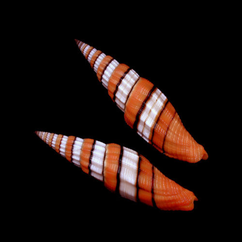 """Rare Queen Miter Seashell (2"""") Mitra Compressum Free Shipping"""