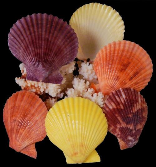 Noble Scallop Seashells (10 pcs) Pecten Nobilis
