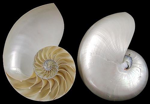 "Pearl Nautilus Pair Center Cut Shells 6-7"" Free Shipping"