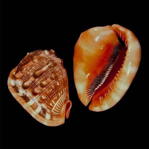 Cassis Rufa Cameo Seashell Shell Priced Each Free shipping