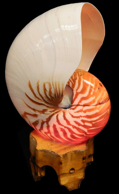 "Chambered Nautilus Shell Lamp  Seashell size range: 8"" (average size about 8"")  Great for Beach Cottage Decor.  Includes Wooden Base, Light Bulb"