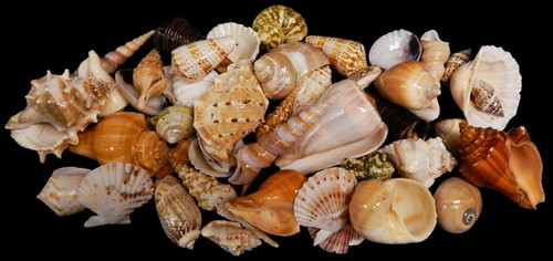 Indian Ocean Mix (Large) 1 Kilo Approx 2+ lbs Free Shipping