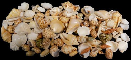 Medium Indian Ocean Shell Mix 1 Kilo Approx 2+ lbs Free Shipping