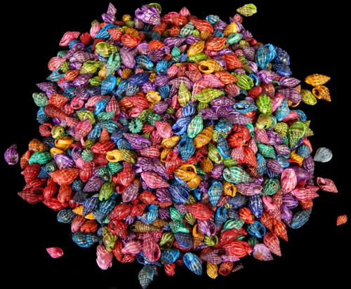 Dyed Nassa Persica, craft shells Free Shipping 8 ounces