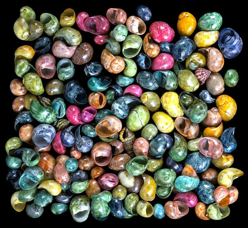 Dyed Littorina Shells, craft shells Free Shipping  8 ounces