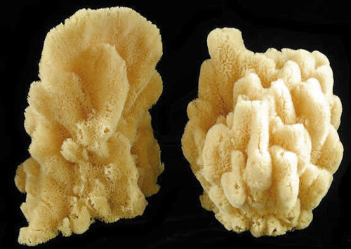 "Natural Cor-al Sea Sponge 9-10"" Free Shipping Sold Each"