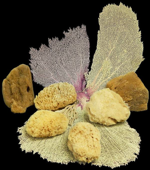 "Natural Sea Sponge Mix 5""- 7"" (Case Pack 6)"