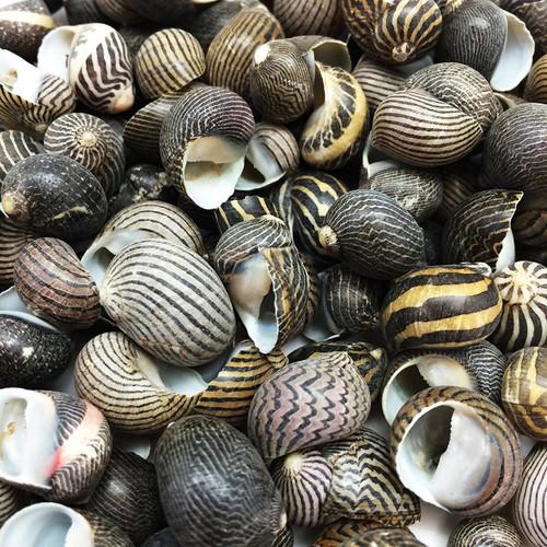 "100 Zig Zag Nerite Sea Shells 1/2""-3/4"" Free Shipping"