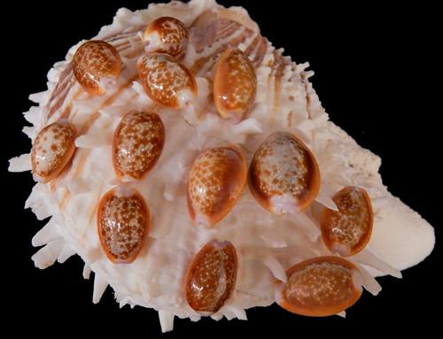 Cypraea Helvola Honey Cowrie Seashells (6 Shells) Free Shipping