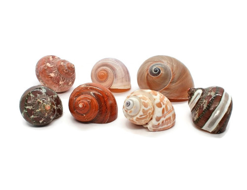 "7 Assorted Turbo Hermit Crab Shells 1""-2"" size (opening 5/8""-1"")"