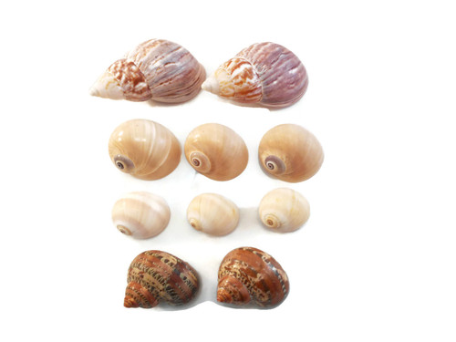 10 Shell Hermit Crab Changing Set Medium Size Seashells