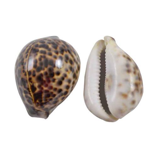 "Tiger Cowrie Seashell 3"" Cypraea Tigri (Qty 1)"