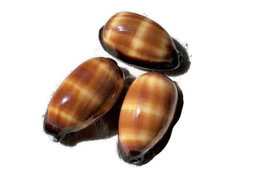 "Mole Cowrie Shell (1 pc)  Cypraea Talpa 2"""