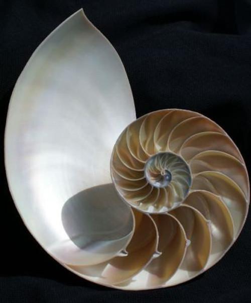 "Pearl Nautilus Half Cut Seashell 4""-5"" Free Shipping"