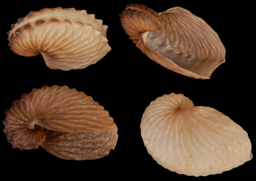 Argonauta Hians Brown Paper Nautilus Seashell - Very Rare