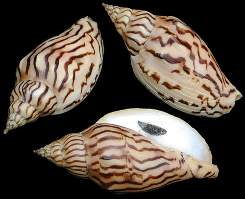 "Voluta Loroisi Seashell - Very Rare 3"" Priced Each"