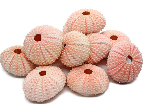 Pink Sea Urchin Seashells Shells Beach Wedding Craft 12 Pack