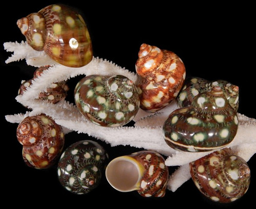 Carved Spotted Turbo Petholatis Shells Great for hermit crabs