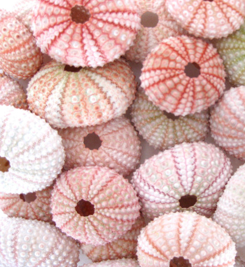 "50 Natural Pink Sea Urchins 1.75"" - 2"" Nautical Beach Decor"