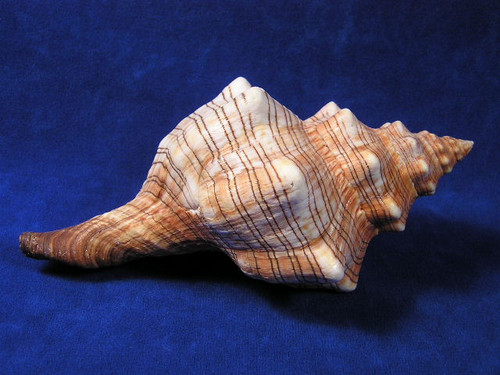 "Medium Striped Fox Conch Seashell Sea Shell 5-6"" Priced Each"
