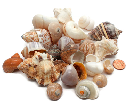 20 ASSORTED Hermit Crab Shells FREE SHIPPING