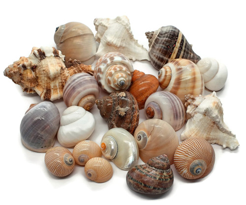 10 ASSORTED Hermit Crab Shells FREE SHIPPING