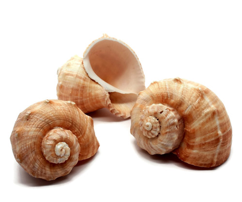 "Rapana Whelk Shells Seashell 2 1/2""- 3"" Hermit Crab"