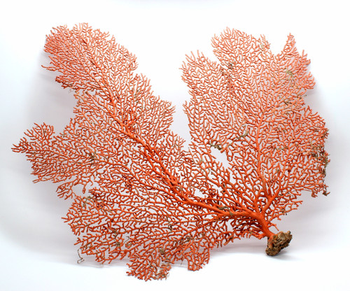 "Natural Dried Sea Fan Coral- 8-10"" Natural Color of Rust"