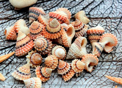 10 Prickly Periwinkle Shells (Cream Top) Seashells