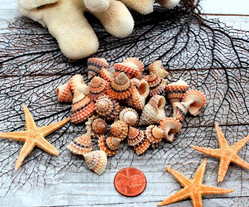 1 Prickly Periwinkle Shells (Cream Top) Seashells