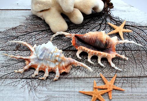 Lambis Scorpius Spider Conch Sea Shell Priced each