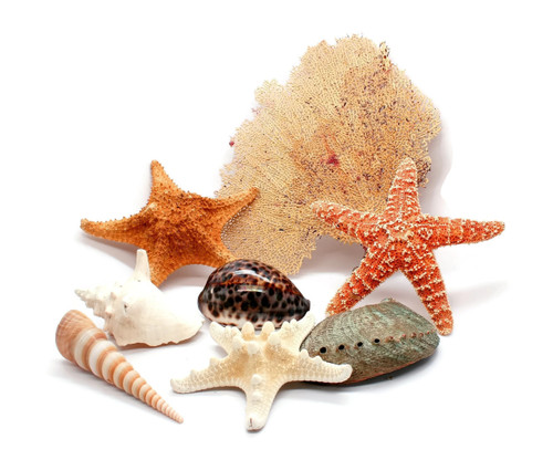 Assorted Shells, Starfish and a Sea Fan Grouping Free Shipping
