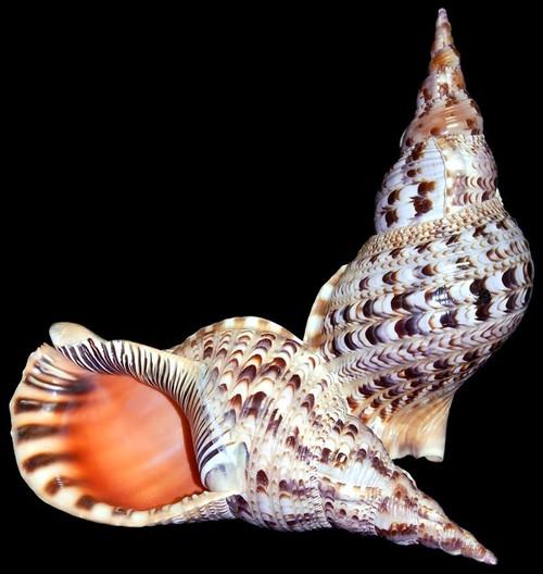 Rare Pacific Triton Shells Variety of Sizes