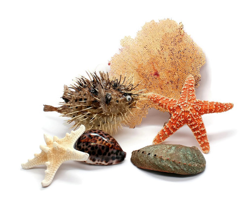 Puffer Fish, Shells, Starfish and a Sea Fan Grouping