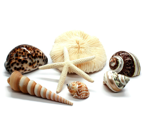 Mushroom Cor-al, Shells, Starfish, Turbos Seashell Grouping